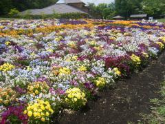 お花のじゅうたん。