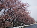 桜@アキレス山辺工場正門前から西を撮影