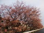 朝日を浴びた桜@アキレス山辺工場正門前から西を撮影