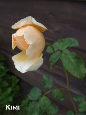 バラの花☆