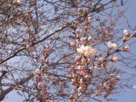 サクラ咲き始め