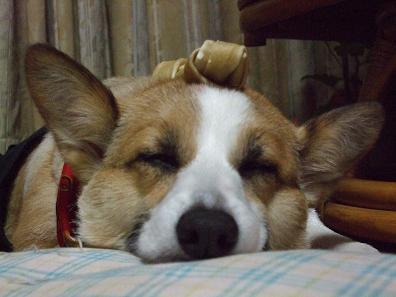 『ちょんまげ』されても目覚めないって犬としてどうだろう
