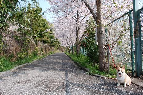 近所の公園は桜が綺麗ですが、今年はもうちょっとかかりそう