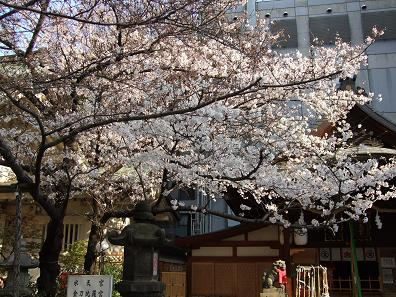 この桜の木だけ咲き誇ってます