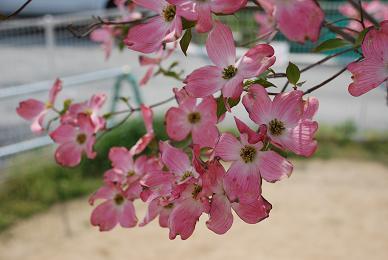 ハナミズキが咲いてました