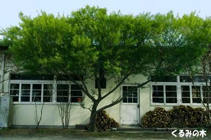 奈良くるみの木