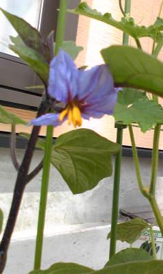 茄子の花開花