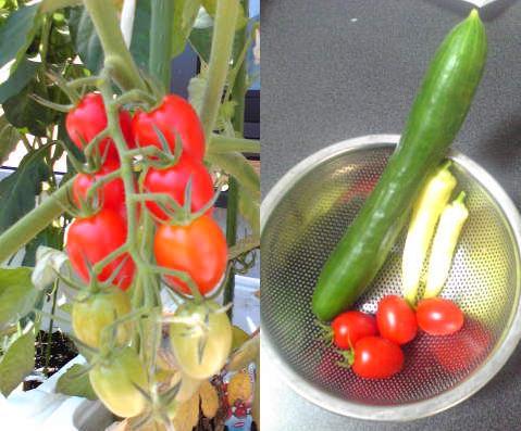 7月29日収穫