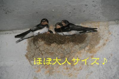 IMG_4292砂肝ツバメ