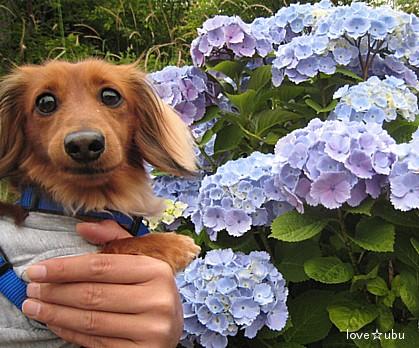 紫陽花と。