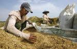 インドネシア・ジャワ島の米生産者