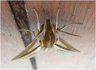 家にいた蛾。