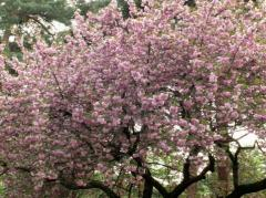 小平霊園の里桜2