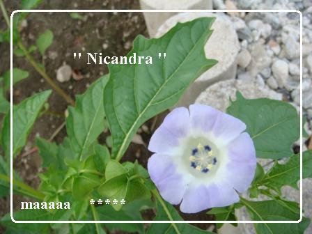 ニカンドラ 花