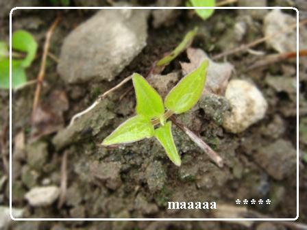 クレマチス芽