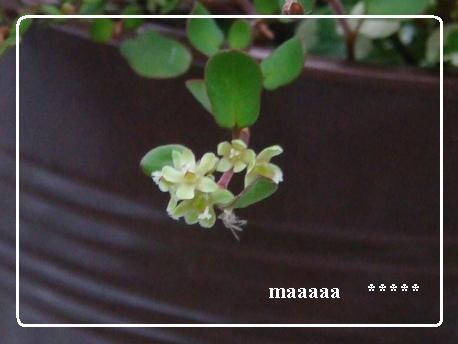 ワイアープランツの花アップ