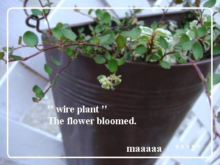 ワイアープランツの花