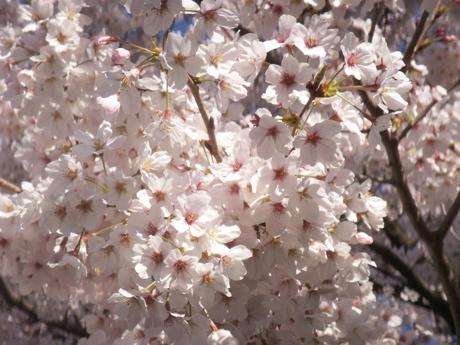 花見マック04