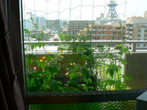 2008年6月6日リビングから見た沖縄ゴーヤ