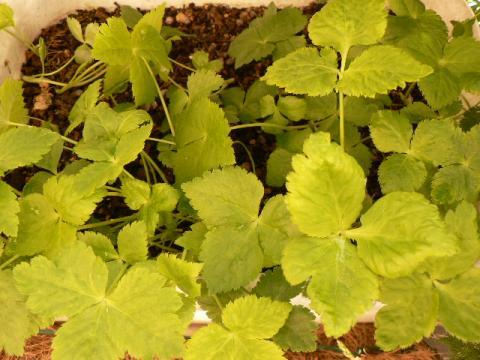 2008年4月 ベランダ菜園 三つ葉