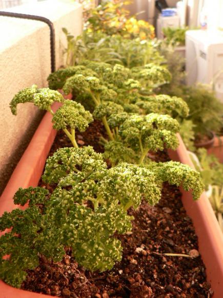 2008年4月14日 ベランダ菜園 パセリ