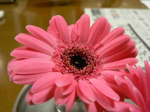 2008年4月18日ガーベラ