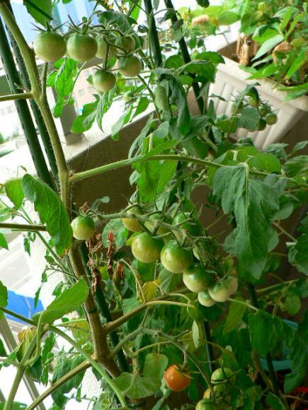 2008年7月24日ベランダ菜園ミニトマト