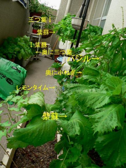 2008年7月24日ベランダ菜園 通称薬味ロード