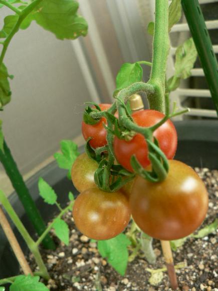 2008年6月27日ベランダのミニトマト