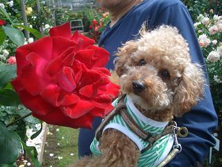 薔薇とマハロ