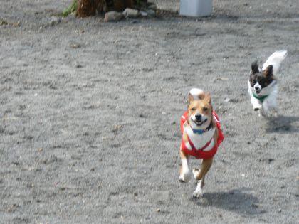 走るポチテト