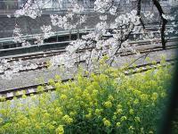 2008sakura2.jpg