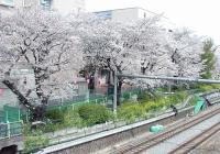 2008sakura5.jpg