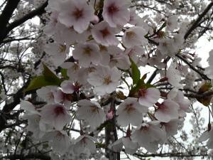 昼桜・・・(・・?