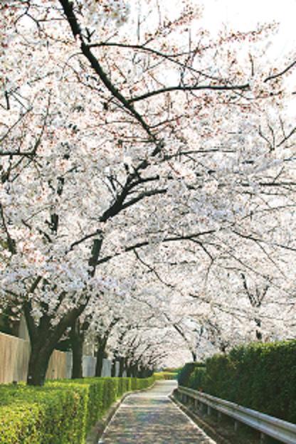 桜並木縮小