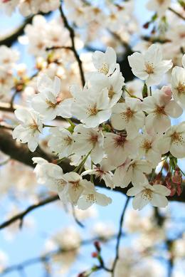 桜アップ縮小