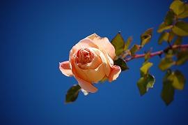 大きく飛び出した薔薇さん