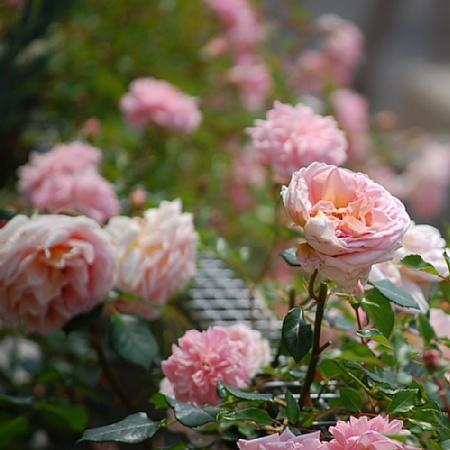 フランソワ・ジュランビル3 2008.5.23撮影