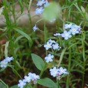 ワスレナグサ 2008.4.12撮影