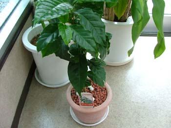 080629珈琲豆の木