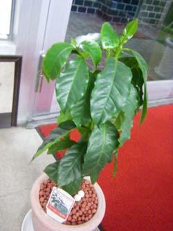 080713コーヒーの木