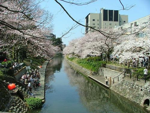 松川辺り 桜
