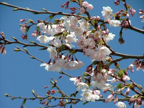環水公園の桜
