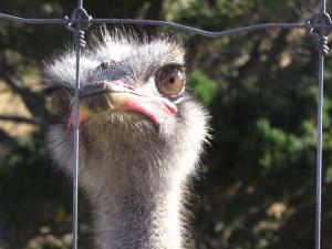 798pxFarmed_Ostrich.jpg