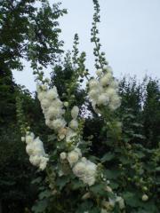 八重の葵(白)