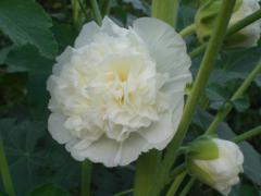 白葵アップ