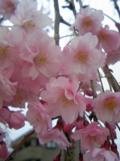 枝垂れ桜080409_1745~02