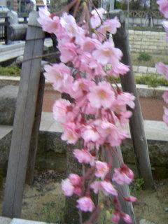 枝垂れ桜080409_1744~01