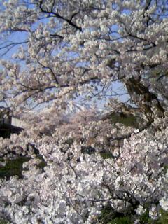桜の向こうに南葉山