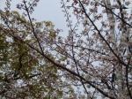 満開の桜その1